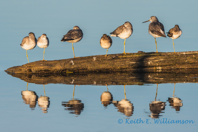 Greater Yellowlegs, waiting for the tide to go out