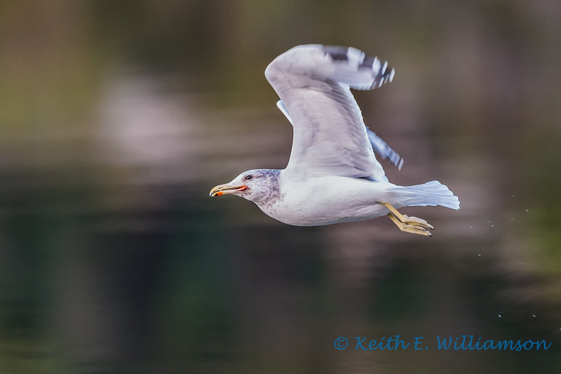 California Gull, Cranberry Lake
