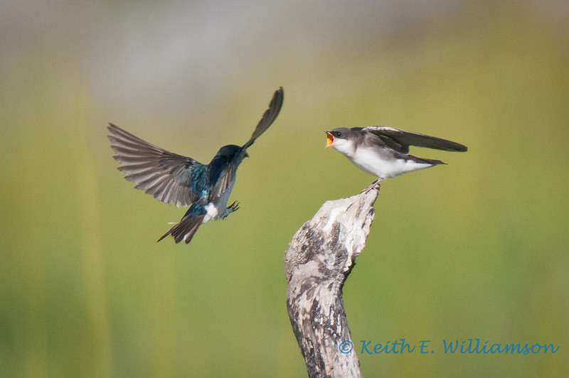 Tree swallows, male about to feed female (is she demanding, or what?)