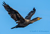 Double crested cormorant - 3