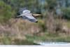 Great Blue Heron, Fir Island - 4