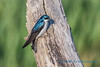 Male tree swallow, Fir Island