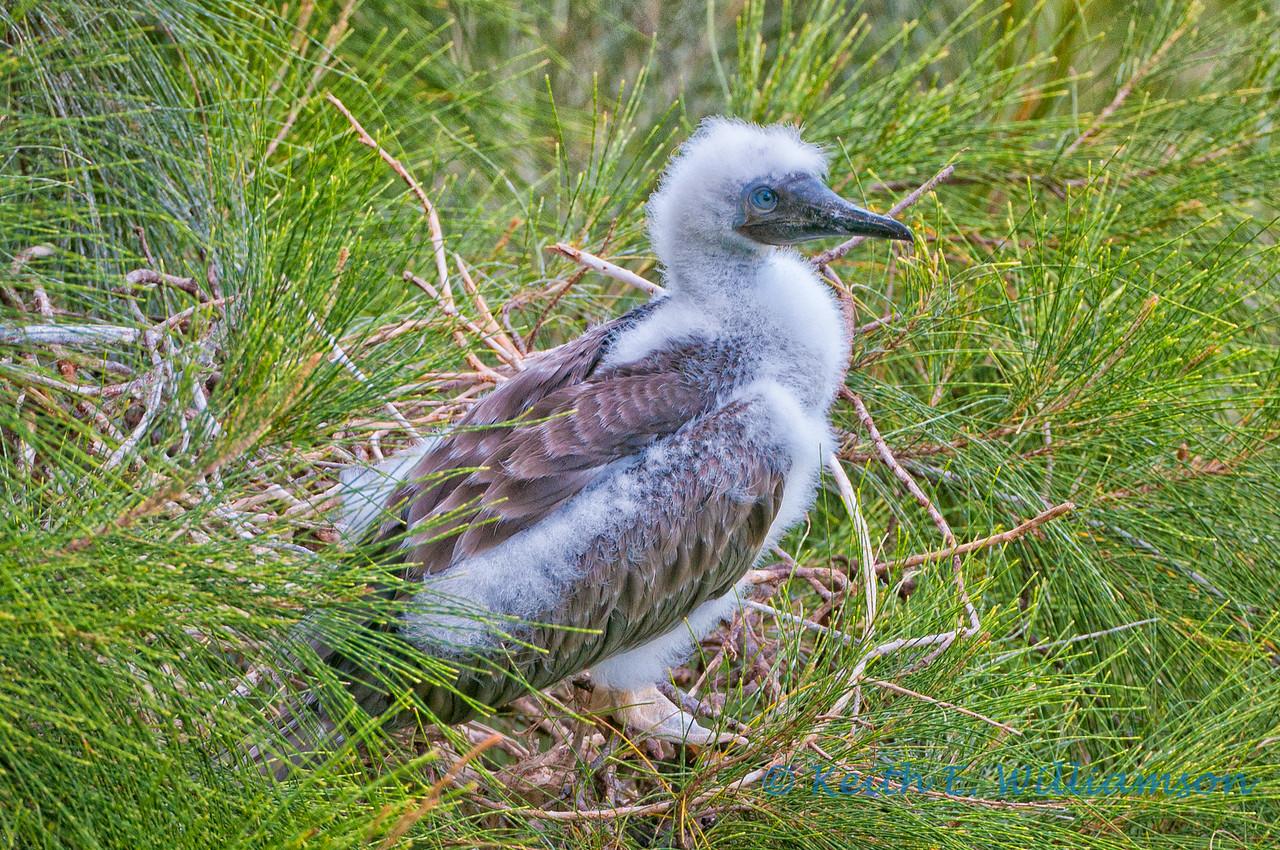 Redfooted booby, juvenile, Kilauea Point NWR, Kauai