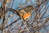 Spotted Towhee, Samish Flats