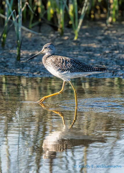 Greater Yellowlegs, Fir Island, Washington