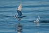 Western Gull taking off