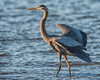 Great Blue Heron, Camano Island
