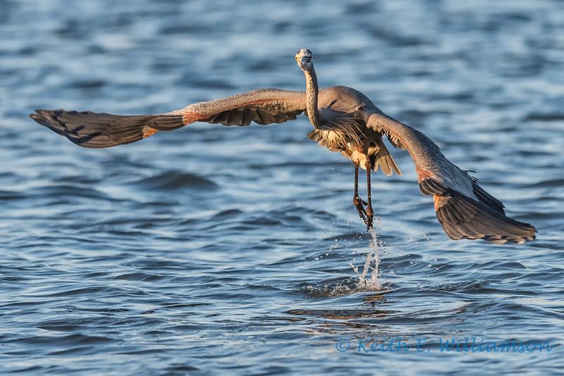 Great Blue Heron, taking off