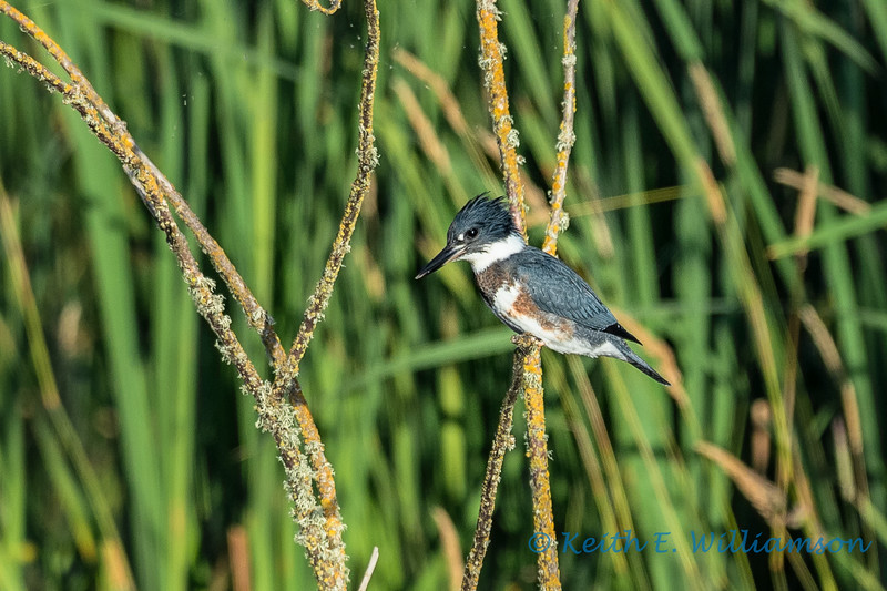 Female Belted Kingfisher, Fir Island