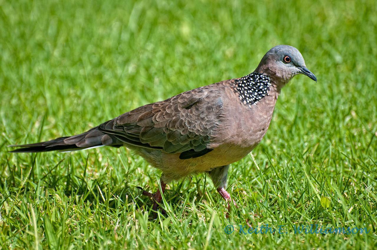 Spotted dove, Kauai