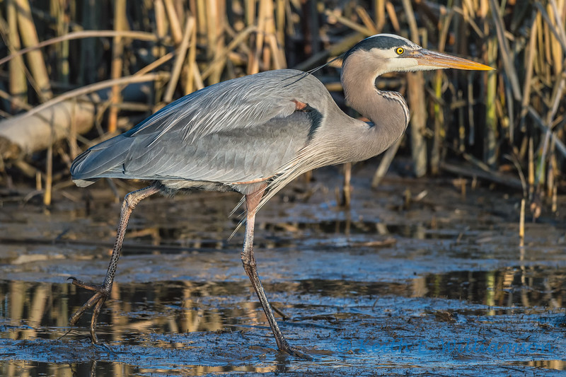 Great Blue Heron among the reeds