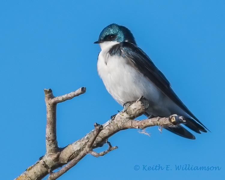 Tree Swallow, Fir Island