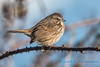 Song Sparrow, Samish Flats