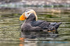 Tufted Puffin, Oregon Coastal Aquarium