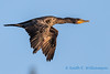 Double crested cormorant - 4