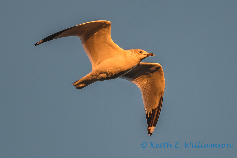 Seagull, at sunset