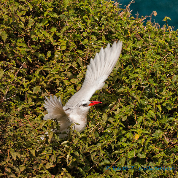 Redtailed tropic bird, mom leaving nest, Kilauea Point NWR, Kauai