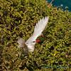 Redtailed tropic bird, mom leaving nest, Kilauea Point NWR, Kauai
