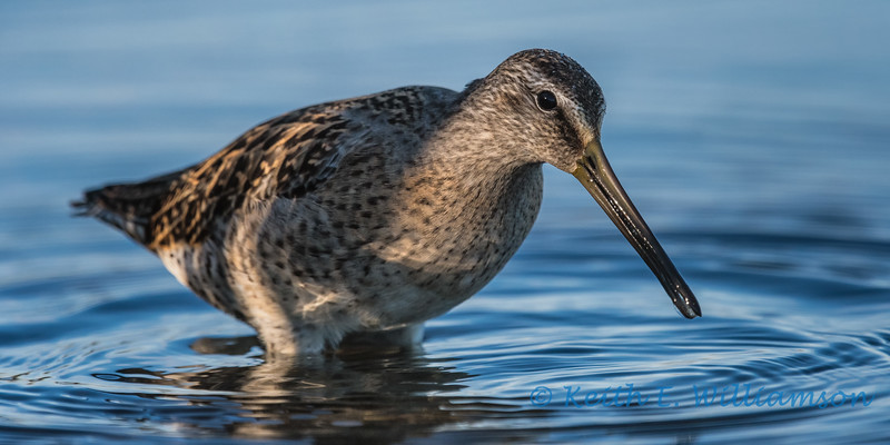 Long-billed Dowitcher, Wylie Slough
