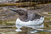 Common Murre, Oregon Coastal Aquarium