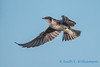 Purple Martin, female