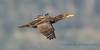 Double-crested Cormorant, Ala Spit