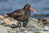 Black Oystercatcher, Ala Spit