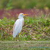 Cattle egret, in breeding plumage