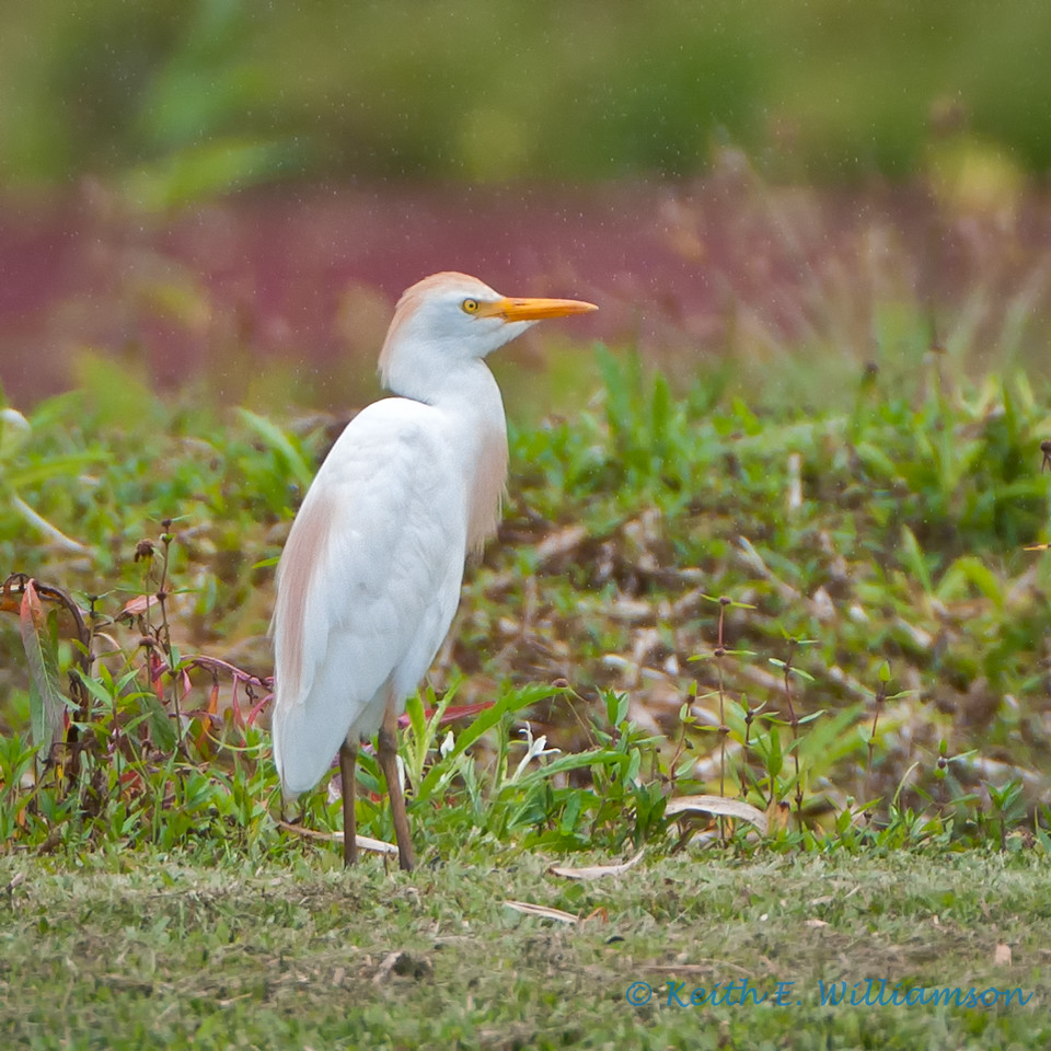 Cattle egret, in breeding plumage