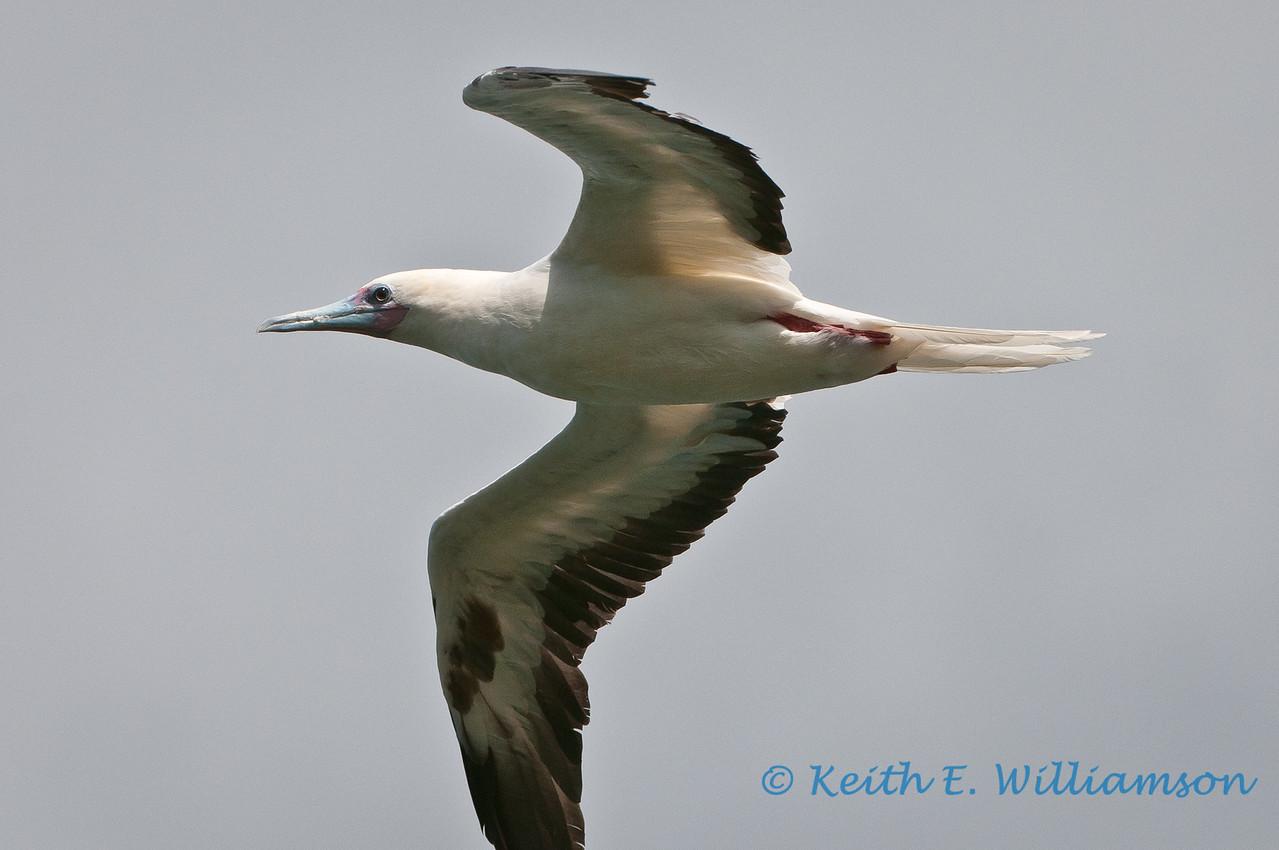 Redfooted booby, Kilauea Point NWR, Kauai