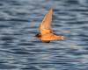 Barn Swallow, Fir Island