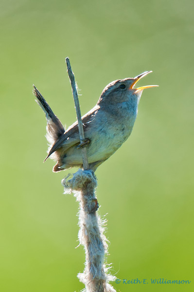 Marsh Wren, trying to scare up a mate