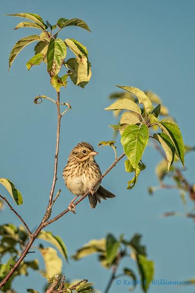 Savannah Sparrow, Samish Flats