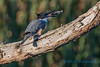 Belted Kingfisher - 2