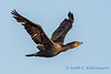 Double crested cormorant - 5