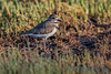 Killdeer, English Boom, Camano Island