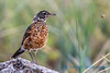 What's it like to bee a juvenile Robin?