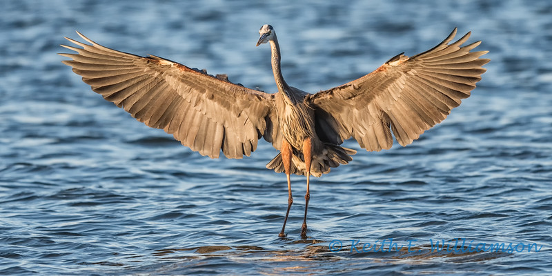 Great Blue Heron, landing, at sunset