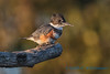 Belted Kingfisher - 3