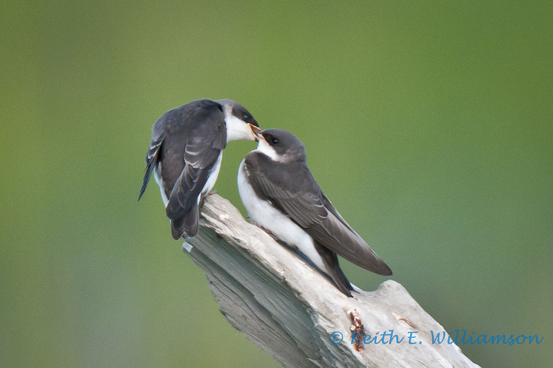 Tree swallows, mother feeding youngster