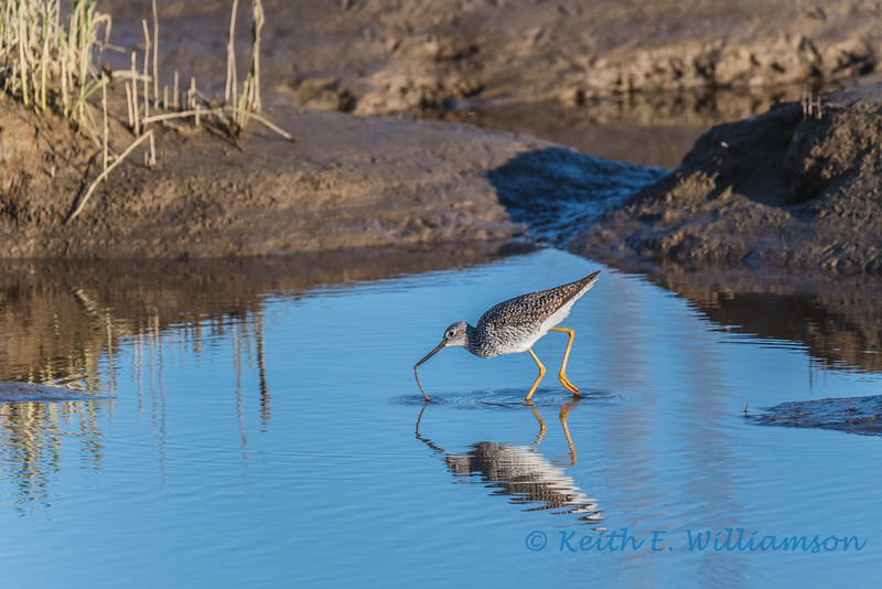 Greater Yellowlegs, Fir Island