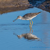 Greater Yellowlegs, eating