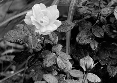 Rose after the rain (Taken with a Mamiya RZ67 using Ilford B&W film)