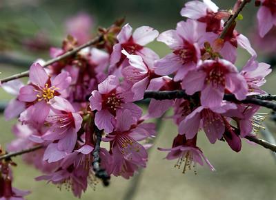 Cherry Blossoms Branch Brook Park, NJ 2018