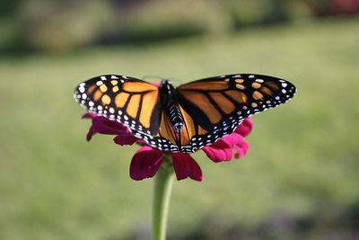 Butterflies IMG_8248
