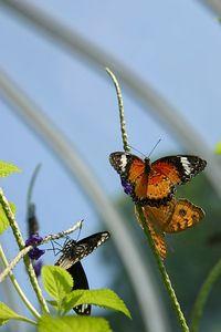 Butterflies IMG_4983