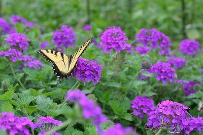 Butterflies IMG_6561