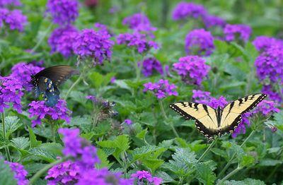 Butterflies IMG_6559CROP
