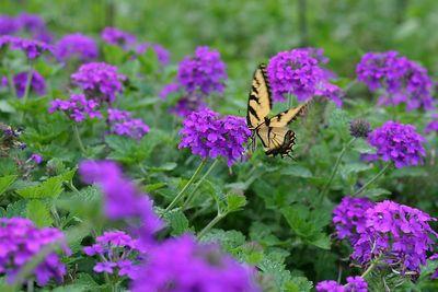 Butterflies IMG_6563