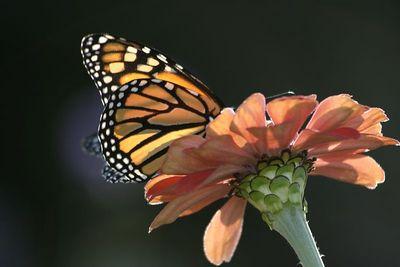 Butterflies IMG_8196